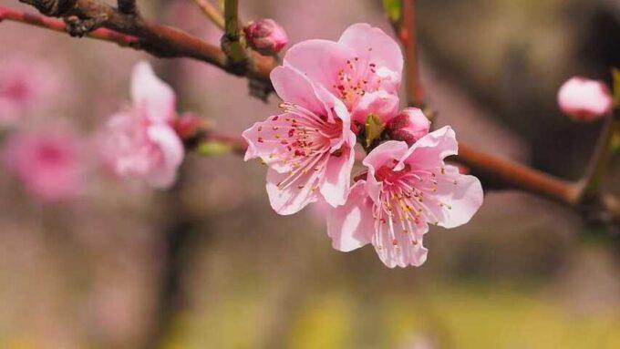 福岡、桜、ソメイヨシノ